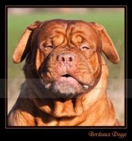 09 bordeaux-dogge-1-web